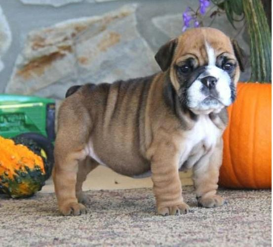 Two Cute English Bulldogg Ppuppies Available