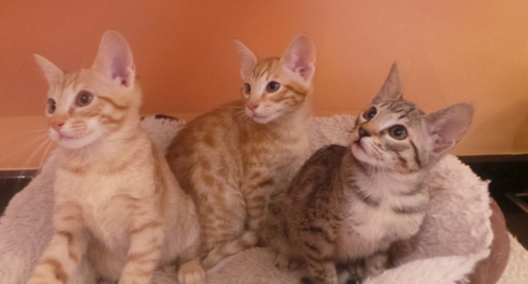 Active Humble S.A.V.A..N.A Kittens Available............