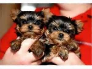 *Top Quality Short Y.o.r.k.i.e puppies(650) 263-7609