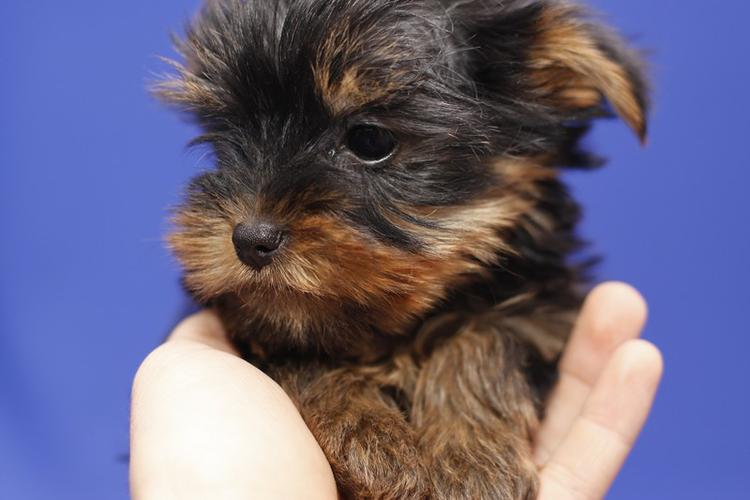 Top Quality Y.o.r.k.i.e.s Puppies:....contact us at(650) 263-7609