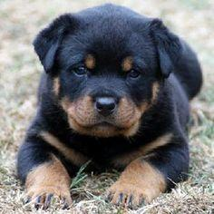 FREE  Rottweiler puppies ready for adoption.......