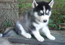 ??? FREE Quality siberians huskys Puppies:???(707) 840-8141