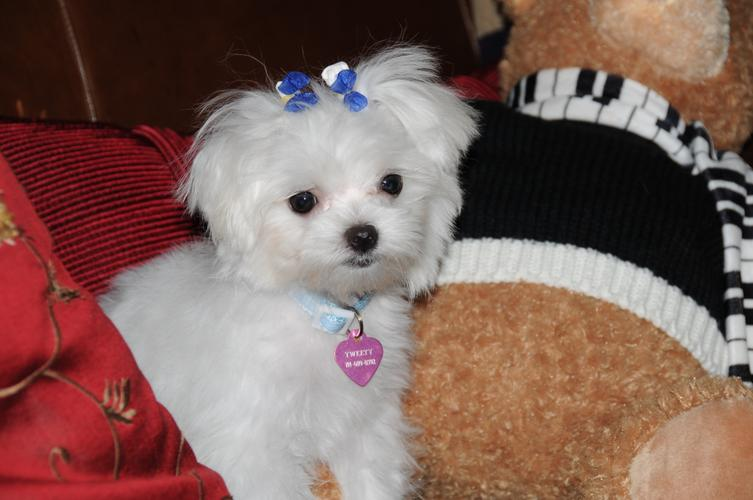 Xmas female and male Maltese Puppies available for adoption text me on (206) 279-0096