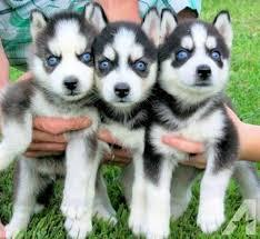 MALE AND FEMALE SIBERIAN HUSKY PUPPIES FORXMAS (276) 263-0882