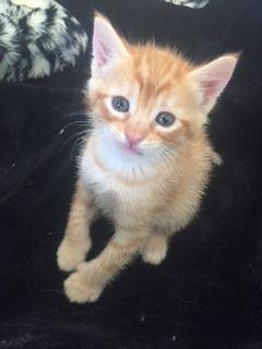 Orange and white male kitten available for adoption