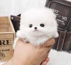 super P.o.m.e.r.a.n.i .a.n puppies (631) 533-0129