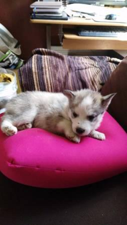 !!!!! Quality siberians huskys Puppies:!!!contact us at(909) 547-9351