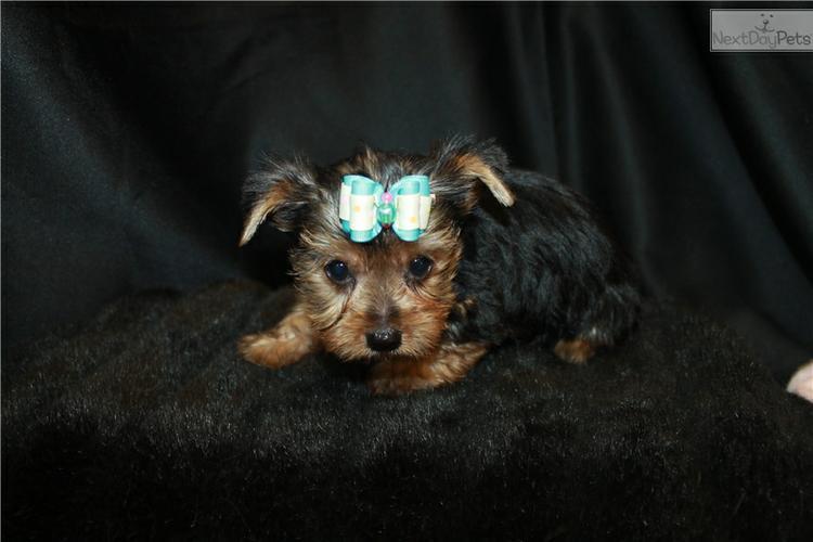 Tiny Micro Teacup Yorkies Puppies:.... (347) 903-3882