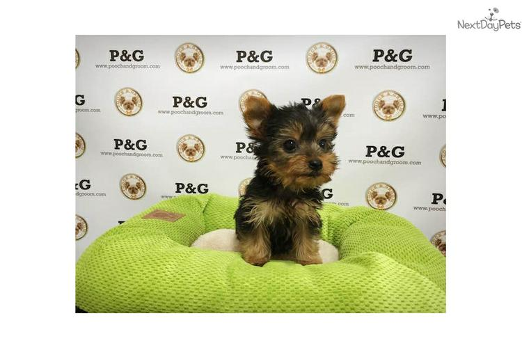 Tiny Micro Teacup Yorkies Puppies:.... (347) 903-3882