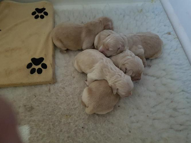 AKC Golden Retriever Puppies.