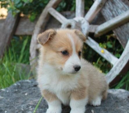 Pembroke Welsh Corgi Puppies text  -(785) -422-8991