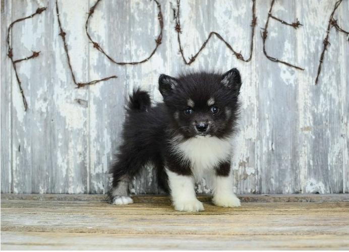 Pennysaver Freenot For Sale Pomsky Puppies Contact Us At