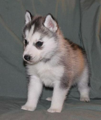 ??? FREE Quality siberians huskys Puppies:???contact us at(612)213-5487.