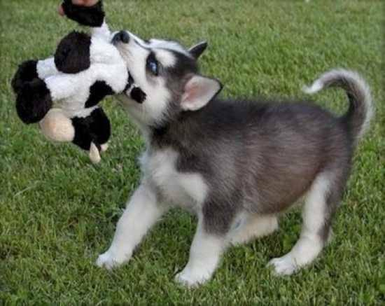 ??? Quality siberians huskys Puppies:???contact us at (903) 929-1033./