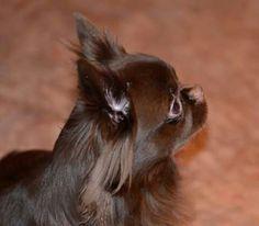Chocolate Chihuahua Girl