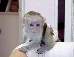 capuchin monkey for sale text6028006029