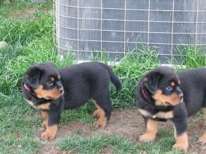 Beautiful Male and Female Rottweiler Puppies,text us at 678 xx 823 xx 9395