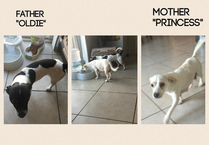 Adorable Chihuahua Mixed Puppies in need of rehoming