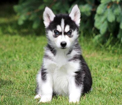 Pretty Female and Male FreeH.U.S.K.K.Y puppie.s(6463498947