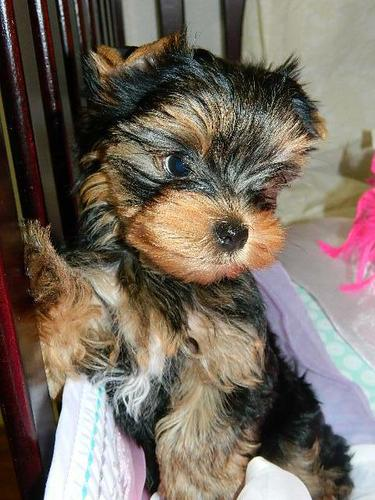 Top** Quality *Yorkies Pu.ppies Need 4ever Home(703) 947-0181