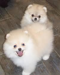 Pomeranianss Puppies Available (601) 351-9586
