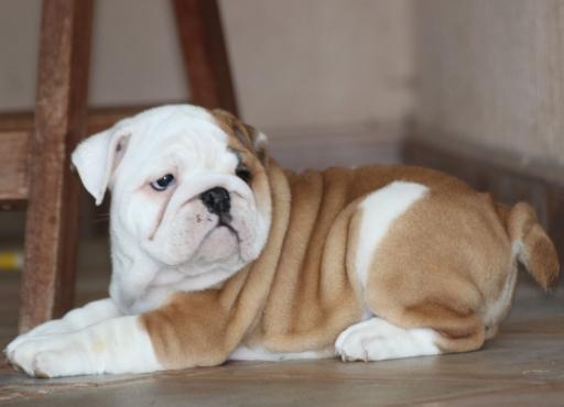 AKC bulldog pupp
