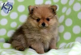 Male and Female Pomeranianss Puppies Available 410) 870-9049