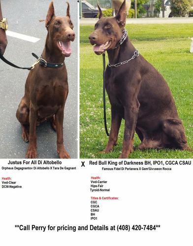 Pennysaver All Dark Red 100 European Doberman Pups With Imported