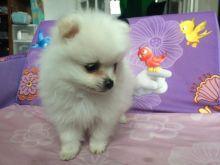*Top Quality Pomeranianss...* puppies*