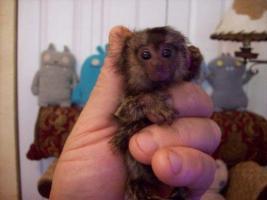 Pair of Beautiful Marmoset Monkeyss to give away