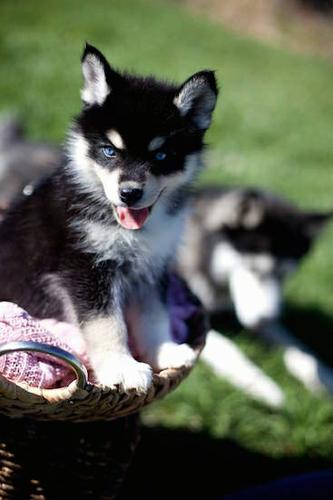 M.a.v.e.l.o.u.s.  P.o.m.s.k.y. puppies.(251) 207-3875