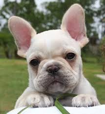 CUTE F.r.e.n.c.h B.u.l.l.d.o.g Puppies contact us at (724) 740 9592