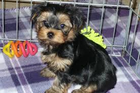 Y.o.R.k.i.e P.upp.i.e.s For s.a.l.e, Ready Now 3 months Old #  (410) 8632405