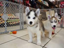 ?Hu.sk.y Pupp.y For Fee, Ready Now 14 Weeks Old (843-776-2914