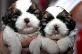?S.h.i.h T.z.u Pupp.y For Fee, Ready Now 11 Weeks Old (908) 758-3119