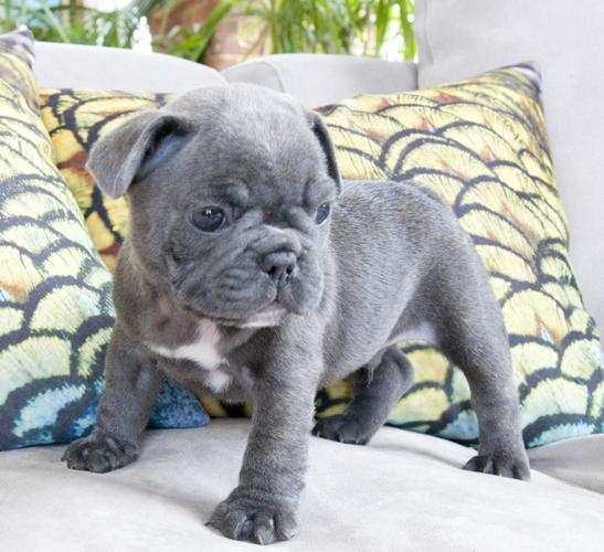 Amazing French Bulldog puppies available