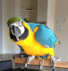 Pair of Blue and Gold Macaw