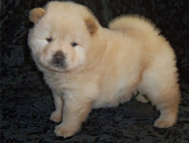 Meet our darling Chow Chow Puppies