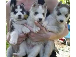 Urgent!Precious Huskies Pups(562) 250-4224..