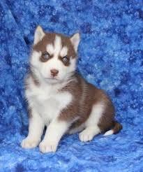 Urgent!Precious Huskies Pups(562) 250-4224...