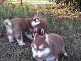 Urgent!Precious Huskies Pups(562) 250-4224,.