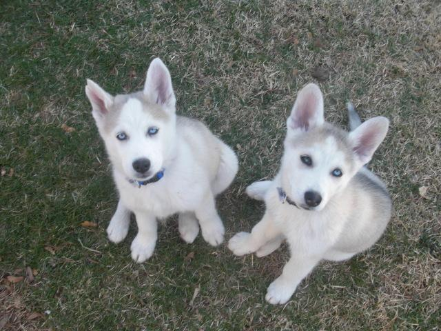 %$% Free Fantastic Female and Male H.u.s.ky Pu.pp.ies for new home %$% 410) 513-5341