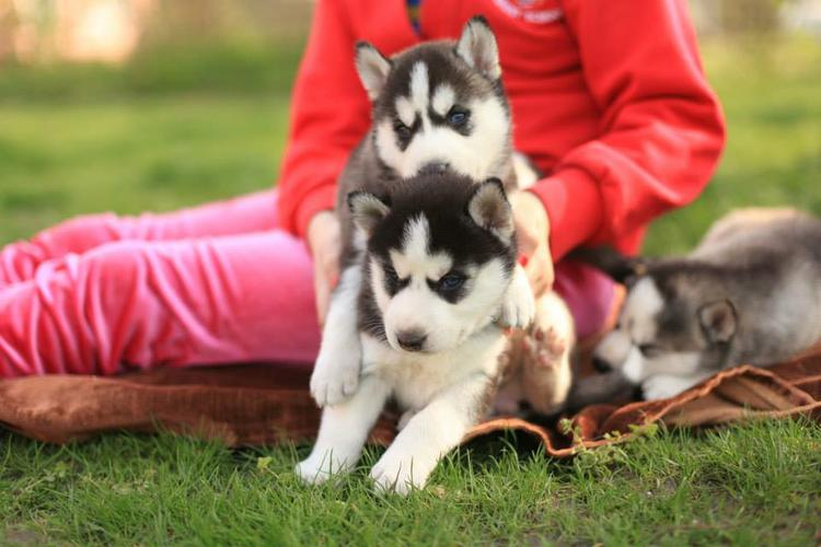 Healthy Siberia.n Husk.y puppies(401)  702-3651