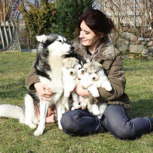 Healthy Siberia.n Husk.y puppies(401)  702-3651
