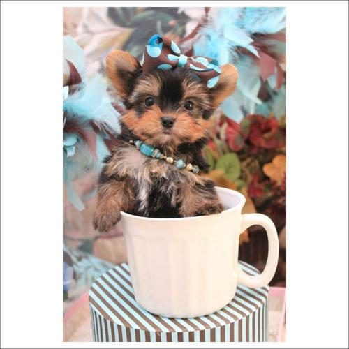 Toy Teacup Yorkies Puppies:.... (443) 488-9603