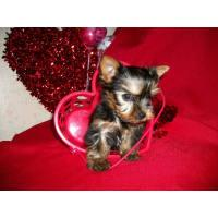 Toy Teacup Yorkies Puppies:.... (443) 488-9603