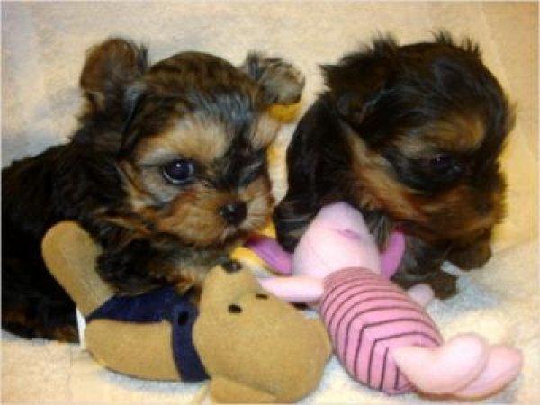 # #  Quality Teacup Yorkies Puppies:..**