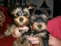 ?Y.o.R.k.i.e P.upp.i.e.s For F.r.e.e, (678-616-1238/Ready Now 12 Weeks Old #