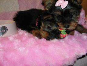 ??? Trained Tea-cup Yorkies Pu.ppies ) Need Hom ???  (915) 996-2344 We have 2 beautiful gorgeous Tea