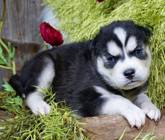 $%???EXCELLENT..FREE... ????Siberian????Husky%???Pu.ppies%$%$